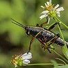 Grasshopper in the Flowers
