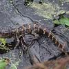 Baby Alligator on Mom