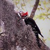 Curious Pileated Woodpecker