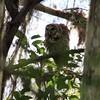 Dancing Barred Owl