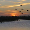 Boat-tailed Grackles at Sunset