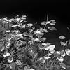 Water Petals