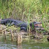 American Alligator With Head Cold