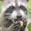 Raccoon Eating Cocplums