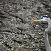 Great Blue Heron with Baby Gator
