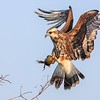 Snail Kite - Coming In Hot