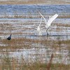 Great Egrets and Purple Gallinule