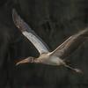 Cruising Wood Stork