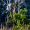 Flying Snail Kite - Marsh Trail