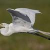 Snake on Beak of Great Egret