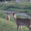 Doe and Yearling