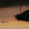 Alligator Sunrise