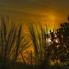 Reeds in the Sunset
