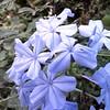 Lil Purple Star Flower