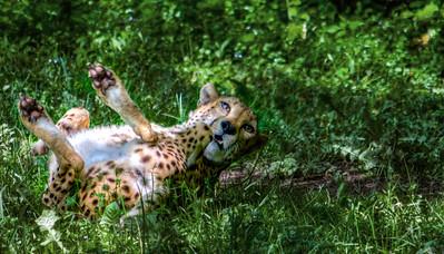 cheetah2final