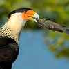 Eau Gallie Blvd West of I95 - Crested Caracara - Eating a Fish - The name of the fish is Brown Hoplo (armor-plated catfish)