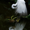 Great Egret Reflection - Won 2nd place in the monthly CCB Photo Contest in April 2009