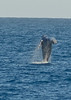 These Humpback Whale were used in an article on the Space Coast Beach Buzz Blog