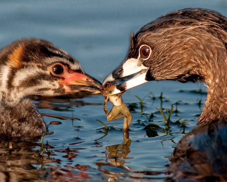 • Received an Honor from FCCC 2nd Tri-Annual Digital Division - Pied-billed Grebe feeding its chick a small frog.  Was awarded Honorable Mention in CCB Oct 2010 Class A Photo Contest<br /> •This photo received a Judges Recognition reward in the animal category from the Palm Beach Post for there 6 annual 2010 photo contest.