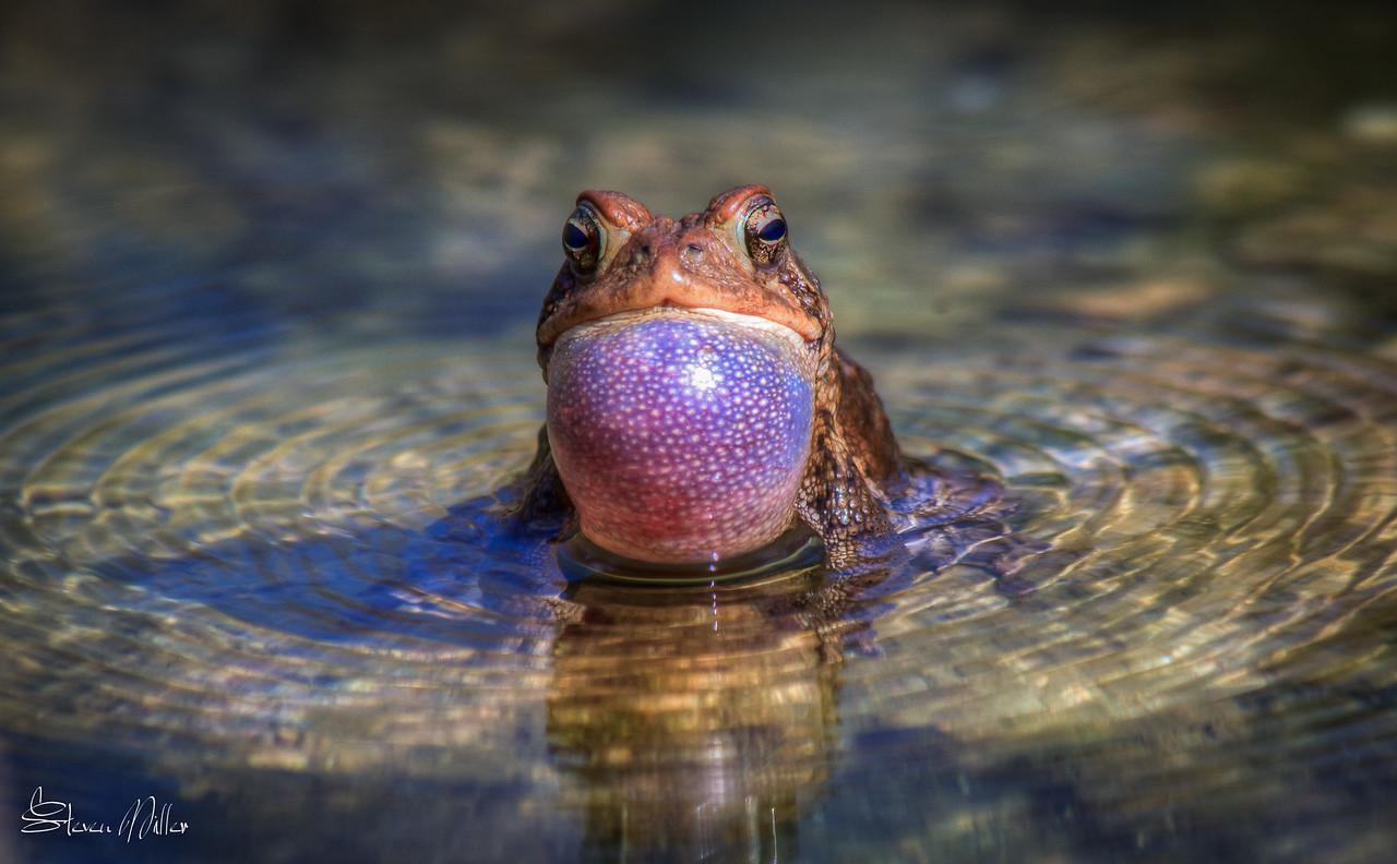 Singing chorus frog