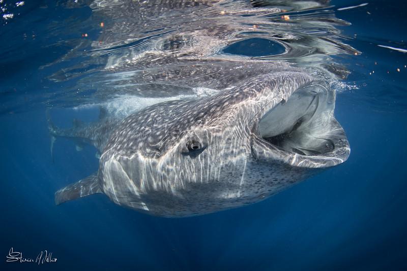 Whaleshark eye contact
