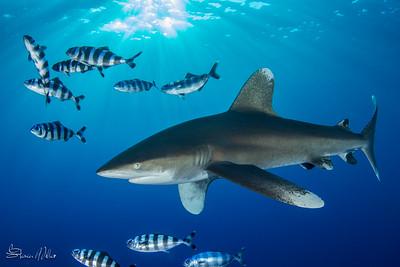 Oceanic White tip Shark at dusk