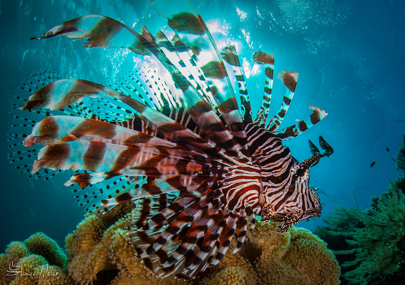 Lion fish close and clear
