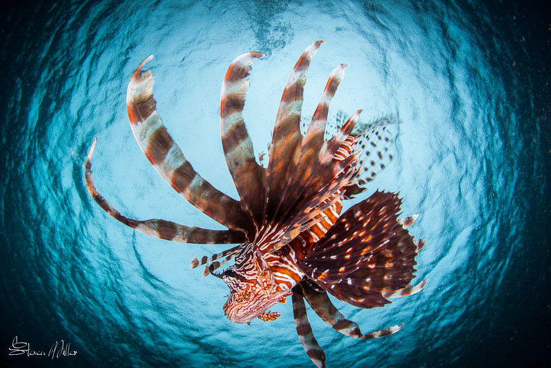 Snell's Window Lionfish