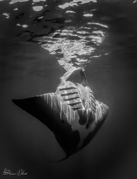 Manta Ray Natural Light