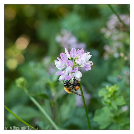 Day 01 - In my backyard, where all kinds of bees find their favorite food.