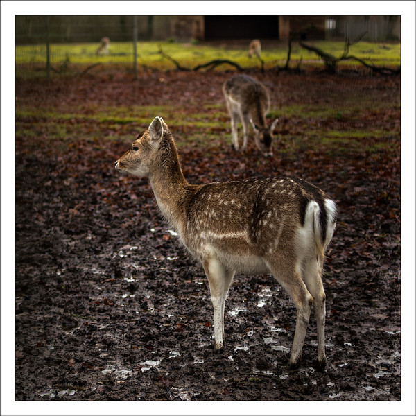 Day 14 Get your feet wet  Most soil of the lower grounds in our country is drenched with water these days. You can see puddles on farmland and meadows, ditches are full and would overflow without the waterpumps we have bordering the polders.  So is the lower area of this deer park, all muddy and yet these two don't seem to mind having their feet sinking in.