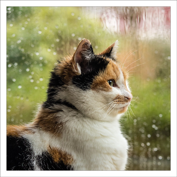 Day 13 Have You Ever Seen The Rain?  She is a shorthair cat so the wetness is not that spectaculair but the spikes on her head look kind of cute. She is sitting in a cornered window, one behind her and one she is looking through to inspect the front garden. Our cats spent more time sleeping indoors now, near the warmth of the central heating. But a few times a day they want to take a short walk around the block, just checking out their territory. And rush back inside, to get warm and dry.