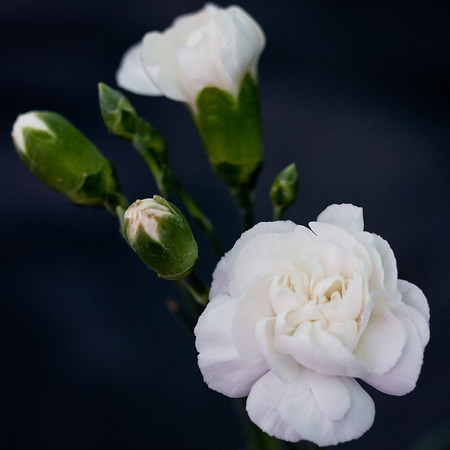 01 A - Back on the pc, a revised processing of the white carnations.