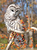 Autumn Berries and Owl<br><br> Photographers Name : Cynthia Lindow<br> Photographers Web Site : <a href=http://http://lindowphotography.smugmug.com/ target=_blank>http://lindowphotography.smugmug.com/</a>
