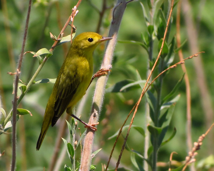 Donna%20Niemann%20-%20Yellow%20Warbler%20-%20Wildlife-L.jpg