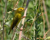 Donna Niemann - Yellow Warbler - Wildlife