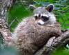 Donna Niemann - Raccoon - Wildlife