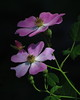 Donna Niemann - Wild Rose - Flora and Macro