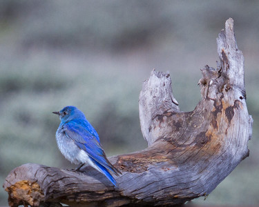 Mountain Bluebird on Driftwood