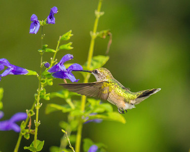 Rubythroated Hummingbird Nectaring