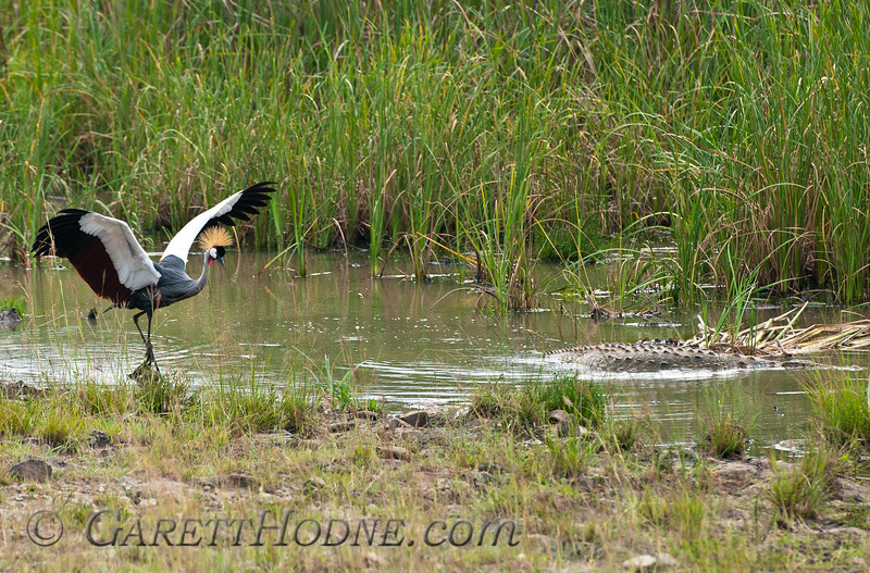 Gray Crowned-Crane (Balearica regulorum)