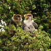 Gentle (Sykes) Monkey  (Cercopithecus mitis albogularis)