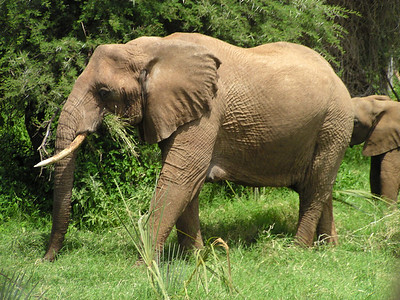 The giant African Elephant; much better than a zoo.