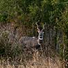 Lesser Kudu (Tragelaphus imberbis)