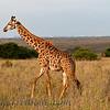 Rothchild's Giraffe  (Giraffe camelopardalis rothchildi)
