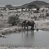 African Elephant  (Loxodonta africana)