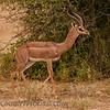 Gerenuk  (Litocranius walleri)