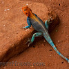 Red-headed Rock Agama (Agama agama)