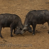 African (Cape) Buffalo (Syncerus caffer)
