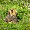 Leopard Tortoise,